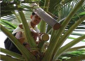 Coconut Sap on tree