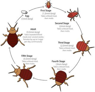 Dust-Mites-and-Bed-Bugs-Facts-816