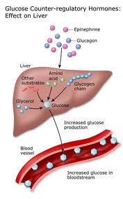 Liver production of Sugar