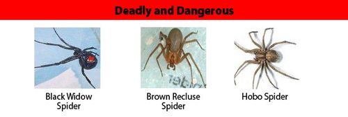 Spiders_DeadlyDangerous