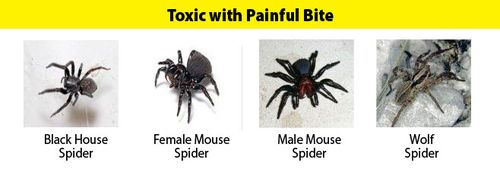 Spiders_Toxic_PainfulBite