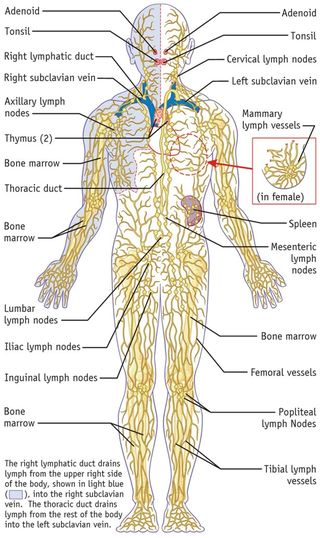 Lymphatic-system-immune-system