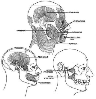 1.32 Muscles of the Head and Jaw (2)