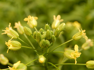 140415-camelina1-rothamstedresearch-400