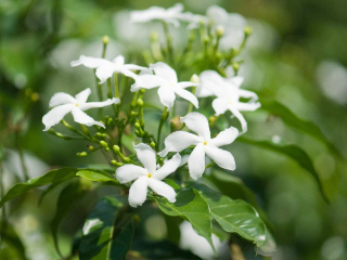 How-to-grow-jasmine-Jasminum-officinale-280939337-1280